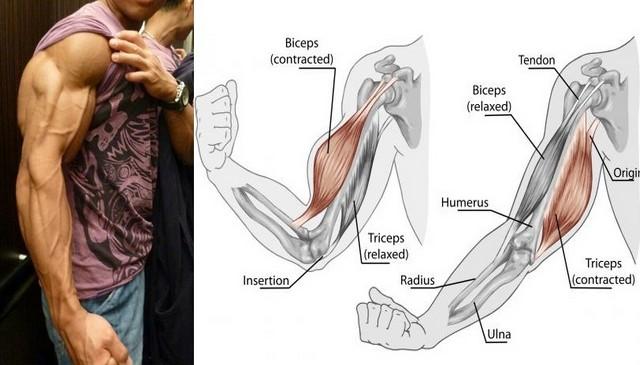 Sase lucruri importante pe care trebuie să le cunoașteți atunci când construiți masa musculara la brațe!